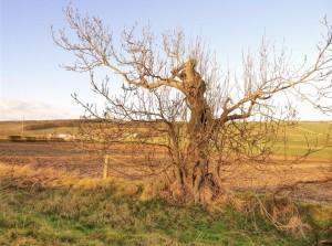 Woldgate Tree