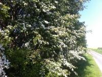 hawthorn-bush-Custom